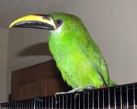 the emerald toucanet is a small member of the toucan family